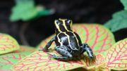 Baumsteigerfrosch - Ranitomeya amazonica