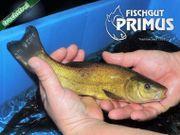 Besatzfische - 5 Schleie