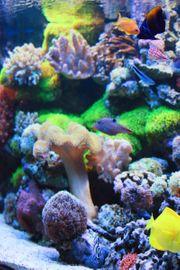 Biete Korallen auf Riffgestein ab 3
