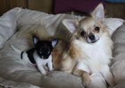Chihuahuarüde aus dem