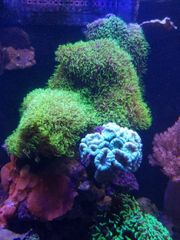 Lebendgestein Affenhaar Ableger Korallen XL