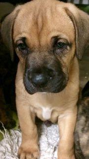 Hundewelpen Boxerrasse Abgabe bereit