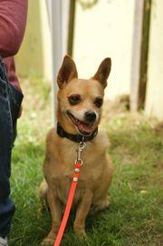 Nacho, Chihuahua Terrier