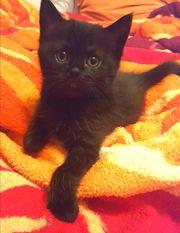 Bkh Babykatzen schokofarben