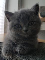 BKH Kitten, weiblich,