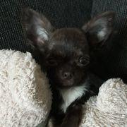 Chihuahua - Rüde