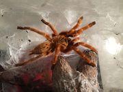 Vogelspinnen: P. murinus,