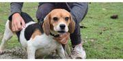 Elli Liebe Beagle