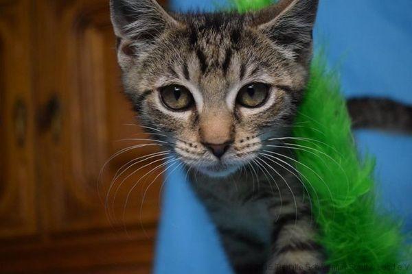Bobby (geb. 04/18) sucht Zuhause - Würzburg - Europäisch KurzhaarjungBobby stammt von einer Kastrationsaktion im Ldk. Spessart, dort wurdeer von einer wildlebenden Katze geboren. Die Mama wurde natürlich, genauwie über 25 weitere Katzen, von der Tierhilfe kastriert. Bobby zog krankund  - Würzburg