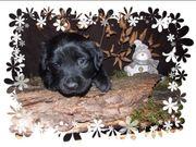 Labrador Mix Welpen abzugeben