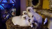 Reinrassige Ragdoll Kitten mit Stammbaum
