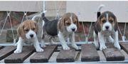 Beagle Welpen, tricolor
