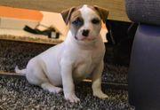 Rockwells American Bulldog