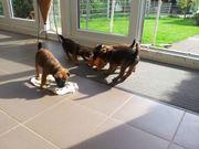 Westfalen Terrier Welpen