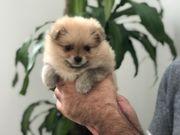 Pomeranian Teddy bear face