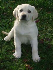 Weiße Labradorwelpen, abgabebereit
