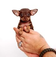 Mini Hunderasse Russkiy Toy Terrier