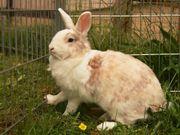Rex Kaninchen aus