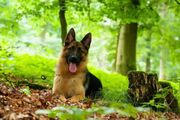 Deutscher Schäferhund Rüde