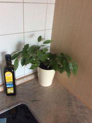Ficus Benjamin und