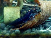 Blaue Tigergarnelen - Deep Blue OE