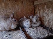 Süße Zwerg-Kaninchen,