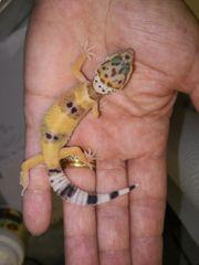 Leopardgeckobabys Leopardgecko 2018