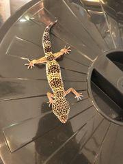 Leopardgeckos DNZ17