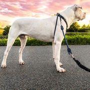Dogo Argentino sucht