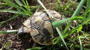 Griechische Landschildkröten, Schildkröten,