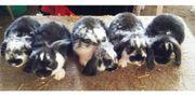 Widder Zwergwidder Kaninchen Babys männlich